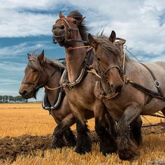 Draft horses....what an amazing photo! What strength!