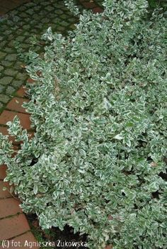 trzmielina Fortune'a 'Emerald Gaiety' - Euonymus fortunei 'Emerald Gaiety'   Katalog roślin - e-katalog roślin Ground Cover Plants, Garden Borders, Shade Plants, Back Gardens, Shade Garden, Evergreen, Shrubs, Roots, Garden Ideas