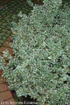 trzmielina Fortune'a 'Emerald Gaiety' - Euonymus fortunei 'Emerald Gaiety' | Katalog roślin - e-katalog roślin