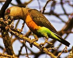 Birds of the World: Red-bellied parrot