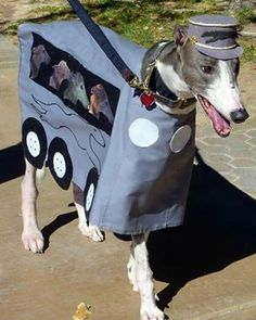 Now THAT's a Greyhound bus. Love the cap - Halloween dog costume Dog Halloween Costumes, Pet Costumes, Unique Costumes, Halloween 2015, Costume Ideas, Funny Dogs, Funny Animals, Cute Animals, Lévriers Whippet