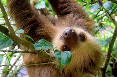 O bicho-preguiça leva uma semana para digerir a comida