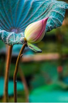 lotus bud, ready to spring open. Exotic Flowers, Amazing Flowers, Beautiful Flowers, Lotus Bud, Lotus Flower, Pink Lotus, Water Garden, Flower Art, Planting Flowers