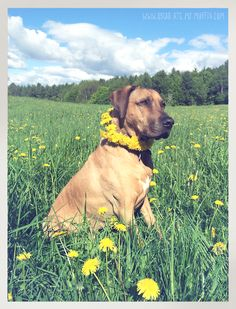 Oscar the Rhodesian Ridgeback and a Dandelion Garland I Love Dogs, Puppy Love, The Dog Star, Dog Necklace, Collar Necklace, Cottage In The Woods, Animal Magic, Dog Stories, Dog Lady