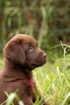 I Love Labradors