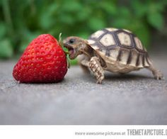 Reminds me of a pet tortoise we once had (: