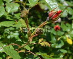 red rose in the bud
