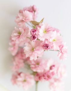 Floral Photography Cherry Blossoms Fine Art