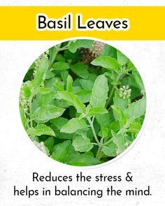Low blood pressure is one of the most common diseases, which is faced by the people today. Hence we bring here home remedies for low blood pressure. Low Blood Pressure Symptoms, Basil Leaves, Home Remedies, Herbs, Herb, Home Health Remedies, Natural Home Remedies, Medicinal Plants