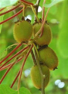 Saviez-vous que les kiwis ne poussent pas sur un arbre mais sur une liane Cette plante originaire de Chine est aussi appelée Actinidia. Contrairement à ce que l'on pourrait croire, elle pousse très bien en France et donne des fruits, à condition d'en prendre soin. par Audrey