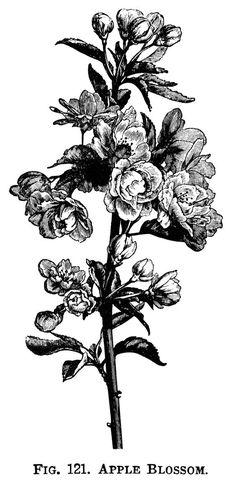 apple blossom clip art, flowering tree branch, apple flower illustration, vintage botanical engraving, black and white graphics, free printable flower: