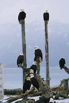 Eagles - A group of eagles perch on wooden posts.