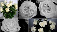 Kytica bielych ruží  ...//