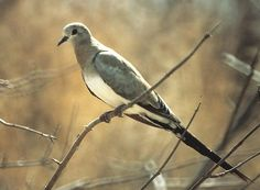 The lovely and dramatic Namaqua Dove is a bird of thornscrub veldt in eastern and southern Africa. This is a female from Kenya.
