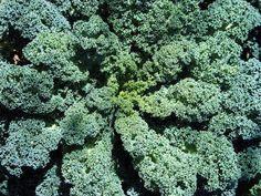 100 Pcs Healthy Cilantro Herb Vegetable High Yield Fruitful Garden Plant Fine Workmanship Garden Pots & Planters Home & Garden