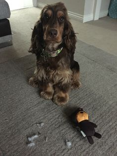 Naughty cocker spaniel with a new toy