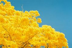 """This is """"Guayacan tree"""" in Tabasco Mexico."""