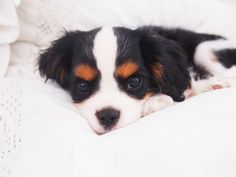 Boston the Cavalier King Charles Spaniel puppy.