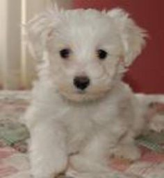 Images of maltipoo puppies for sale in california cheap skates