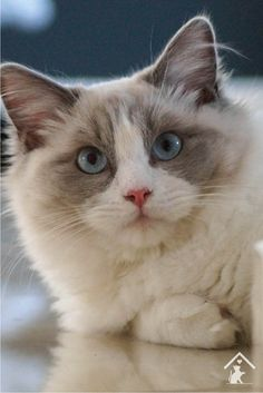 Rag Doll Cat Ragdoll cats are quirky, beautiful and playful! Click the pin to read our guide. Ragdoll Cat Breed, Cat Pose, Cat Breeds, Art Reference, Cats And Kittens, Dolls, Animals, Beautiful, Life