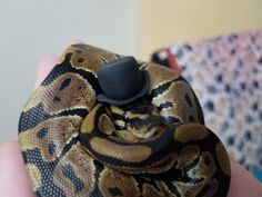 Cute baby ball python in top hat. His name is boop noodle. Baby Animals Pictures, Funny Animals, Snakes With Hats, Pretty Snakes, Ball Python Morphs, Cute Reptiles, Cute Snake, Cute Little Animals, Cute Hats