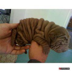 Mini Shar Pei pup ~ doggiechecks.com
