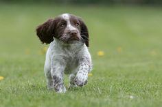 How to teach a spaniel puppy to retrieve - Shooting UK Gun Dog Training, Foundation Training, Cocker Spaniel Puppies, Getting A Puppy, Mans Best Friend, Illustration, Dogs, Animals, Cocker Spaniel Pups