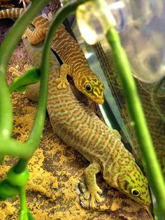 Our New Phelsuma standingis at Northampton Reptile Centre