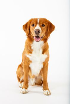 Nova Scotia Duck Tolling Retriever Pup ~ Classic Look Worlds Cutest Animals, Cute Animals, Cutest Dog On Earth, Nova Scotia Duck Tolling Retriever, Dog Collars & Leashes, Best Dog Breeds, Retriever Puppy, Wild Dogs, Cute Animal Pictures