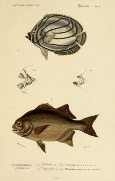 img/dessins couleur poissons/dessin poisson 0093 dipterodon du cap - dipterodon capensis.jpg