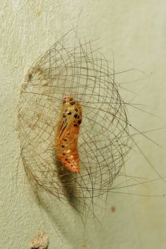 Tiger Moth pupa in a basket by itchydogimages, via Flickr