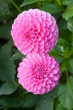Dahlia 'Tahoma Lady Oh', early September. A pink Miniature Ball Group dahlia. Fake Flowers, Flowers Nature, Exotic Flowers, Amazing Flowers, Pink Flowers, Beautiful Flowers, Dahlia Flower, Purple Dahlia, Beautiful Flower Arrangements