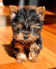 Micro Teacup Yorkie.  Tiny Tiny Tiny  9 oz. at 11 weeks  My new Mommy, in Mississippi, bought me for   Ten Thousand Dollars!  I'm so special!