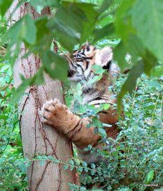 Tiger cub - Climbing the tree | beachkat1 | Flickr