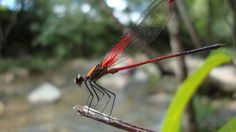 Free Image on Pixabay - Dragonfly, Anisoptera, Epiprocta Free Pictures, Free Images, Dragonflies, Public Domain, Dragon Flies
