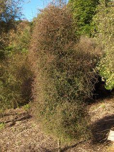 Myrsine divaricata weeping matipo poor knights small for Unusual small trees