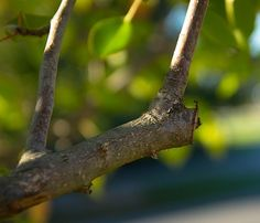 Here is a spring pruning guide for trees and shrubs. The Old Farmer's Almanac presents a guide to when and how to prune specific varieties of trees and shrubs. Pruning Shrubs, Tree Pruning, Flowering Shrubs, Trees And Shrubs, Fruit Bearing Trees, Fruit Trees, Prune Fruit, Evergreen Hedge, Old Farmers Almanac