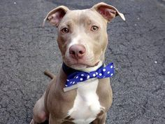 ELI - ID#A0999400  I have been adopted!  I am a neutered male, tan and white Pit Bull Terrier mix.  The shelter staff think I am about...