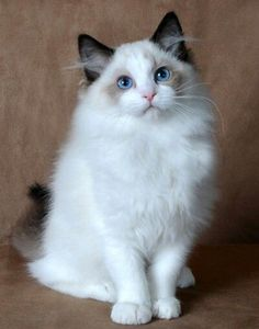 Ragdoll cats and kittens Photo Gallery. Ragdoll cat breeders in Ohio. Kittens Cutest, Cats And Kittens, Ragdoll Cats, Toyger Cat, Birman Cat, Pretty Cats, Beautiful Cats, I Love Cats, Cool Cats