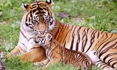 A list of the critically endangered and endangered wild cats, including big cats and small wild cats; endangered big cats and small wild cats species info. Bengalischer Tiger, Tiger Moms, Bengal Tiger, Cubs Wallpaper, Wallpaper Free, Animal Wallpaper, Nature Wallpaper, Windows Wallpaper, Wallpaper Gallery
