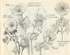 ~ The Feathered Nest ~: free antique images Anemone Flower, Flower Art, Botanical Illustration, Illustration Art, Watercolor Flowers Tutorial, Decoupage, Flower Sketches, Drawing Flowers, Nature Sketch