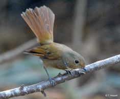 コチャバラオオルリ Rufous-bellied Niltava (Niltava sundara) female