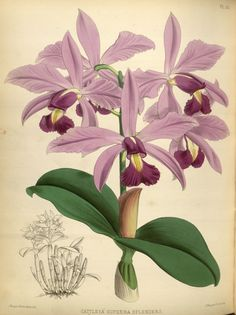 orchidees - Orchidees - 1101 Cattleya superba spendens - Gravures, illustrations, dessins, images