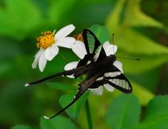 White Dragontail (Lamproptera curius)