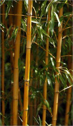 Poster Bambus          BAMBUSA OLDHAMII