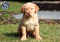 Bruno – Labrador Retriever – Yellow Puppies for Sale in PA   Keystone Puppies