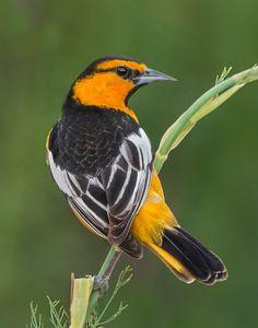 Bullock's Oriole (Icterus bullockii) native to Western North America Pretty Birds, Beautiful Birds, Oriole Bird, Birds In The Sky, Rare Birds, Bird Pictures, Colorful Birds, Wild Birds, Bird Watching
