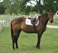 Sadie, Thoroughbred Horse For Sale in Washington, Oklahoma - Horses for Sale | Horse Classified - My Horse For Sale