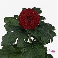 Chrysanthemum Blooms Kiev are a red, disbudded, single headed cut flower variety. 70cm tall & wholesaled in 10 stem wraps.