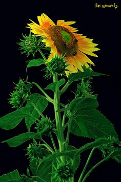Sunflower with potential!